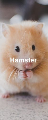 Ein hellbrauner Hamster der gerade am essen ist.