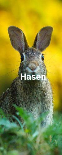 Der Hase auf dem Bild schaut zu der Kamera. Die Ohren sind gestellt. Er befindet sich in grünem Gras.