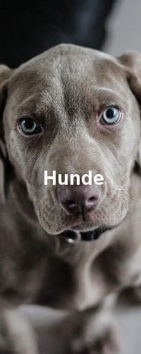 Ein grauer Hund, relativ jung schaut in Richtung Kamera.